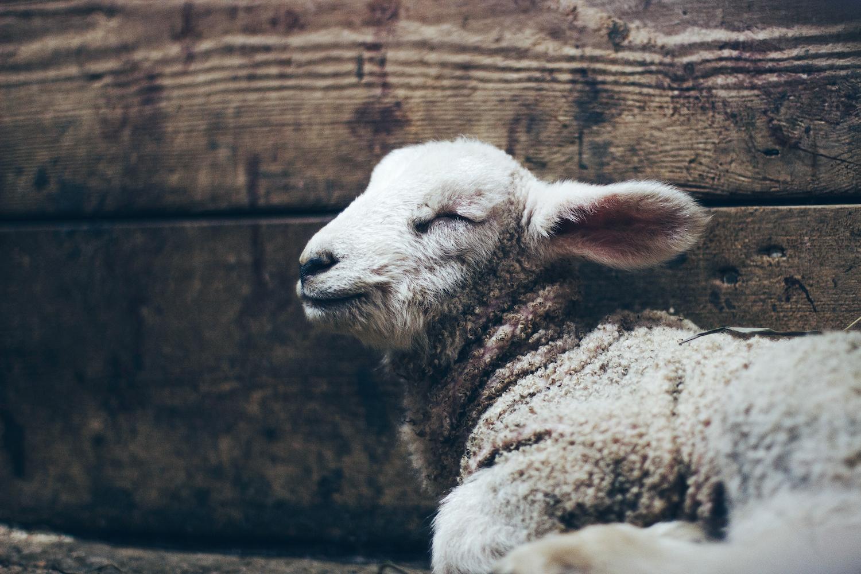 A baby sheep sleeps in a barn