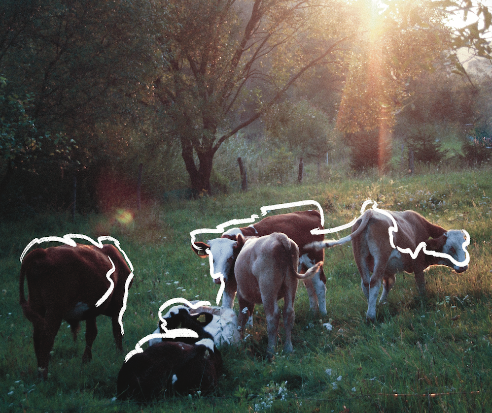 A herd of cows stand in a field with sun rays beaming down on them.
