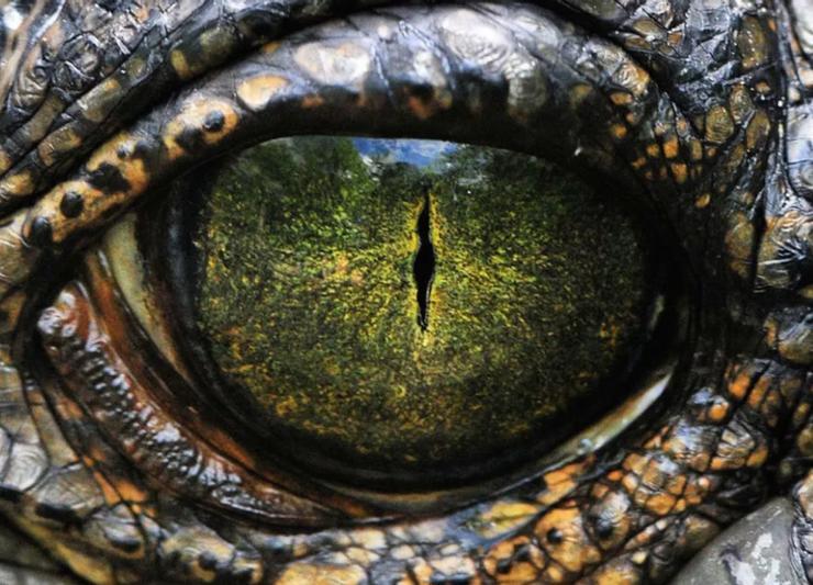 Close up shot of an alligator's eye.