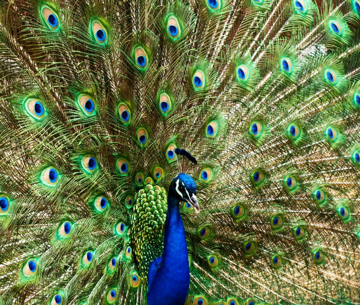 A male peacock fanning his tail feathers.
