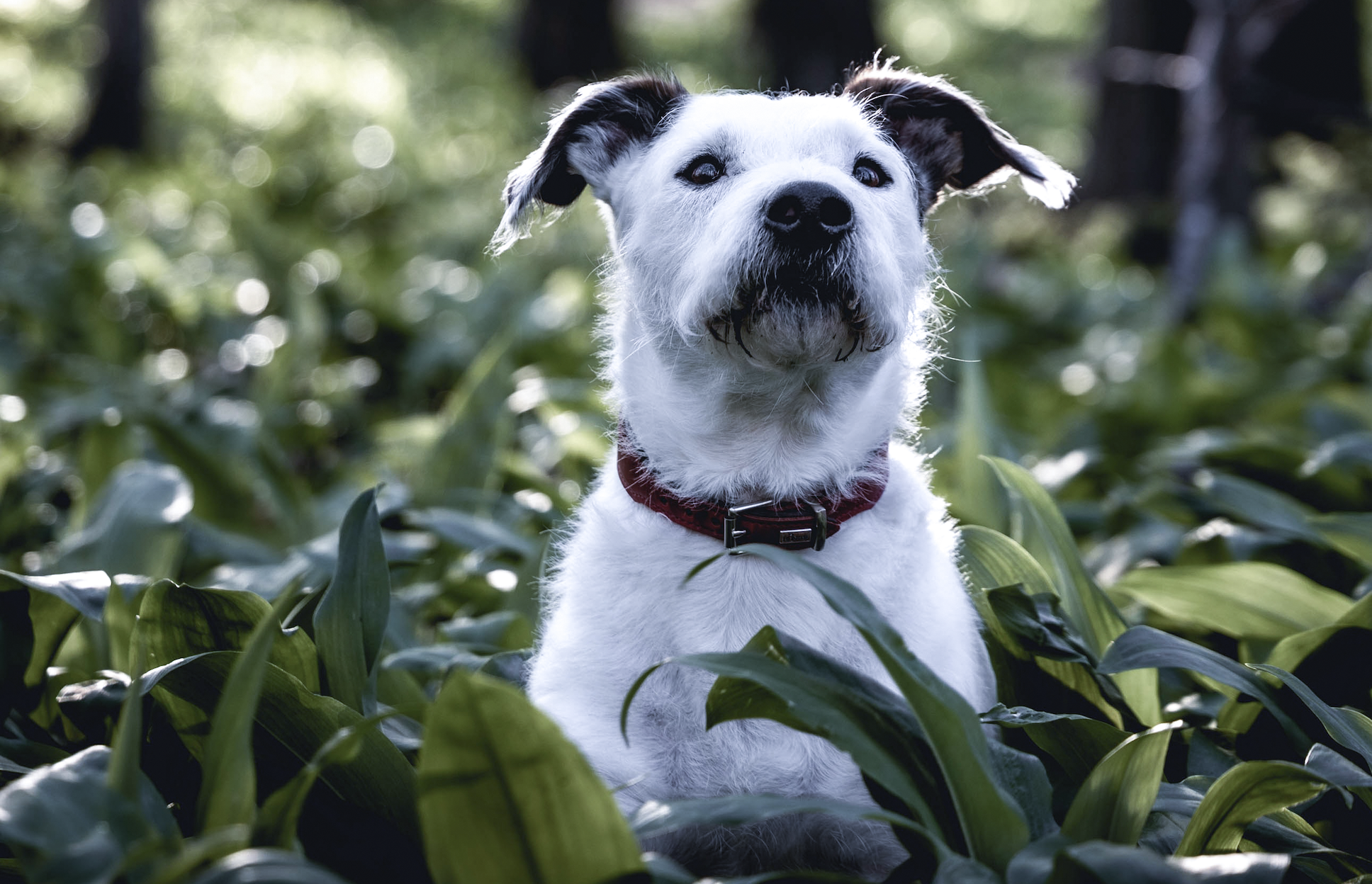 A Jack Russell dog lays in the grass on high alert.