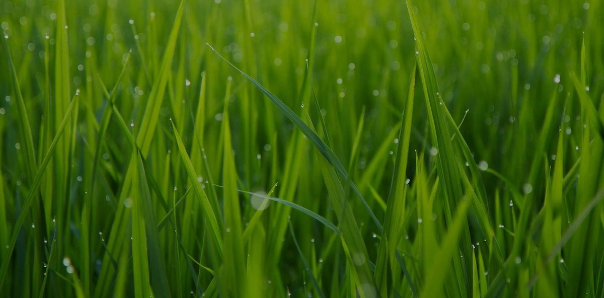 Bright green grass with water drops