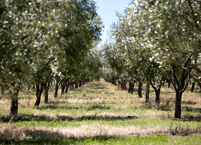 Rows of olive trees at an vineyard