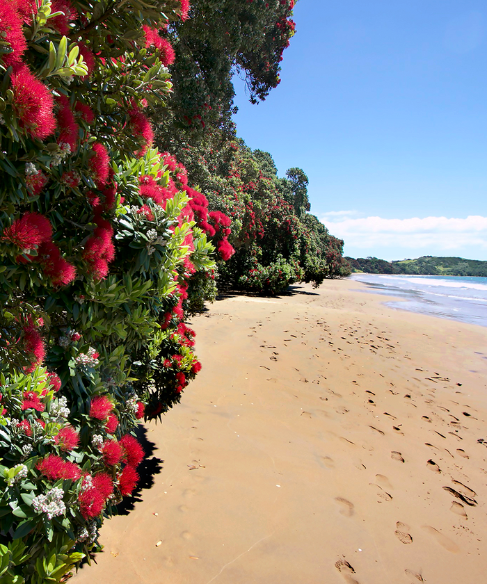 Pohutukawa in bloom by the beach