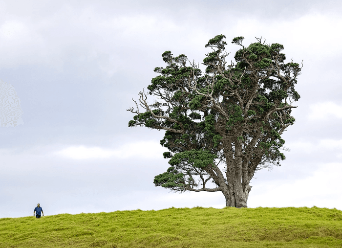 Tree on top of hill at Waitangi