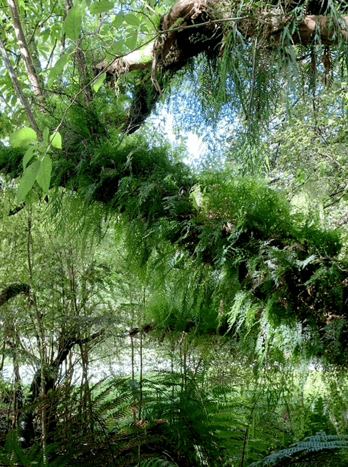 A fall tree covered by hanging ferns