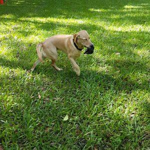 Retrievers will retrieve anything even doggy doo