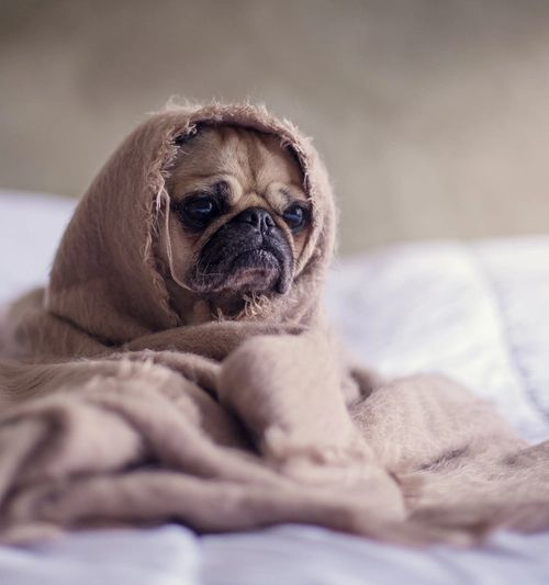 Image of a pug sitting on a bed, wrapped in a brown blanket