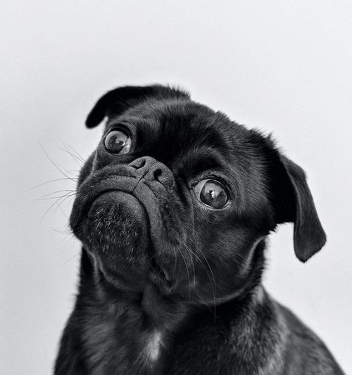 Image of a black pug, looking up and to the left