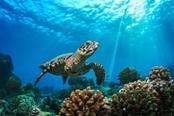 tartaruga marina maldive