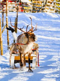 fattoria di renne a rovaniemi in finlandia