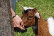 trekking con le capre trentino