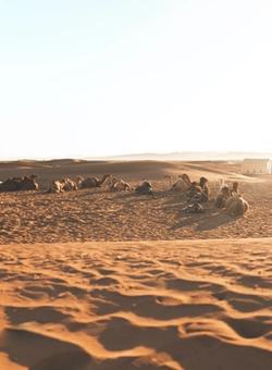 cammelli nel deserto del sahara al tramonto