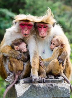 scimmie sri lanka