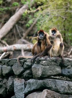 scimmie in nicaragua