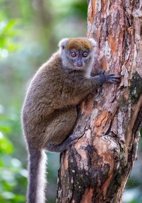 scimmia nel parco nazionale di ranomafana
