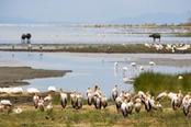 fenicotteri al lago manyara