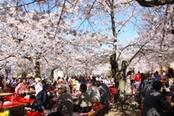 giardino di kyoto con cicliegi in fiore