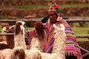 Uomo peruviano circondato da lama