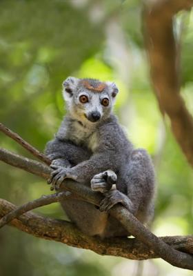 lemuri nel parco nazionale dell ankarana est