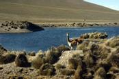 Lago con animale locale nei pressi di Cusco in Perù