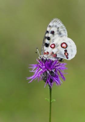 farfalla apollo in trentino alto adige