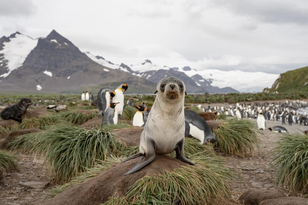 pinguini e foche isole kerguelen