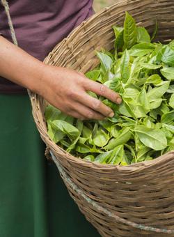 signora raccoglie foglie di tè in un cesto