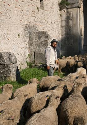 pastore con pecore a bojano in molise