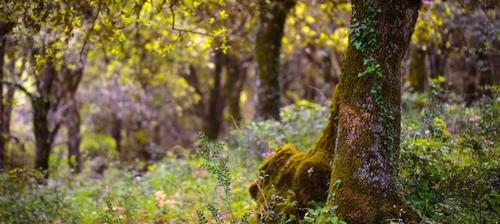 bosco di ficuzza ricoperto di lavanda