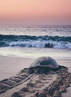 Tartaruga in riva al mare al tramonto in Oman