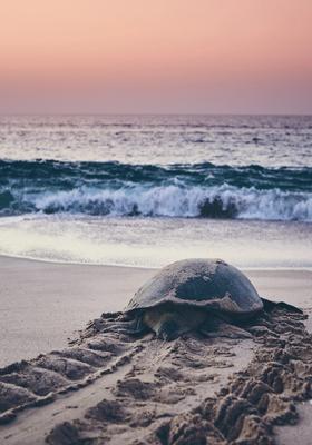Tartaruga in riva al mare al tramonto
