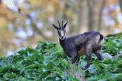 fauna alpina in piemonte