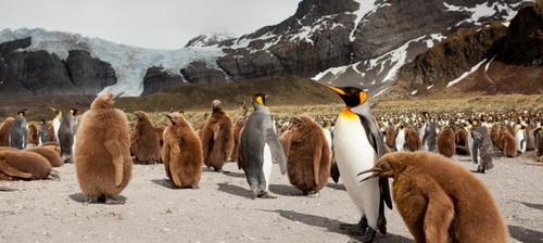 pinguini isole kerguelen