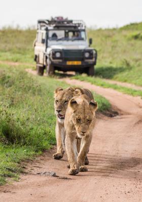 leopardi safari nel serengeti