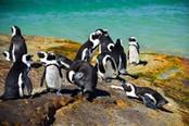 Pinguini in Sudafrica