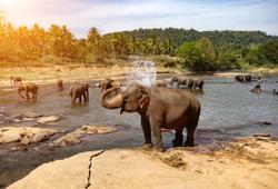 elefanti pinnawala sri lanka