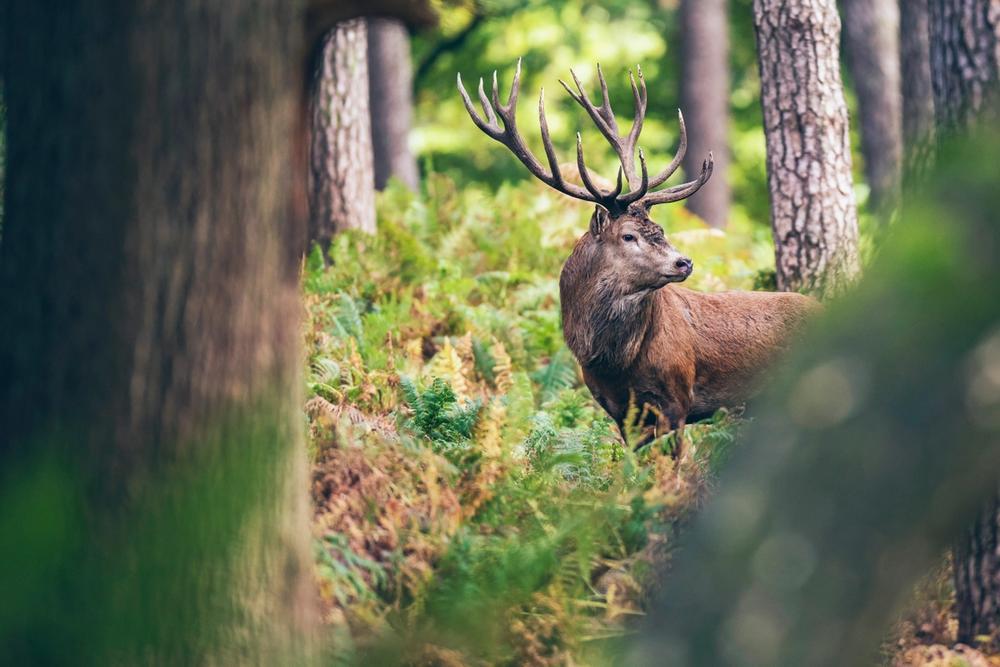 cervo nel parco nazionale dello stelvio