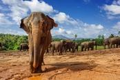 centro elefanti pinnawala sri lanka