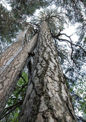 alberi giganti della sila