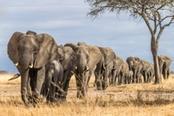 branco di elefanti al tarangire park