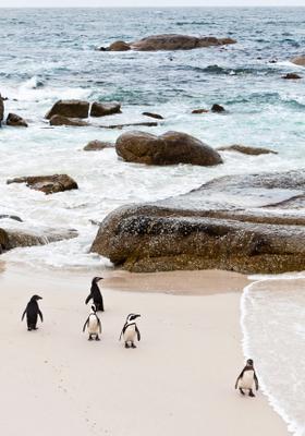 la spiaggia dei pinguini in sudafrica