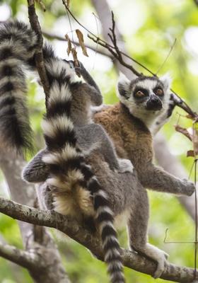 lemure nel parco di anja