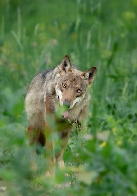 lupo nascosto fra le piante sull appennino in abruzzo