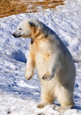 orso polare nello zoo di ranua