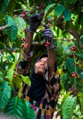 piantagione di caffe a medellin