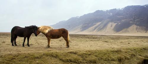a chestnut and a black horse nuzzle each other in the foreground of a grassy plain. There are hills in the distance and a small patch of snow in the foreground.