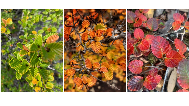 Deciduous Tasmanian myrtle beech changing colours in autumn