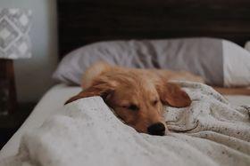 Dog in bed asleep under blanket
