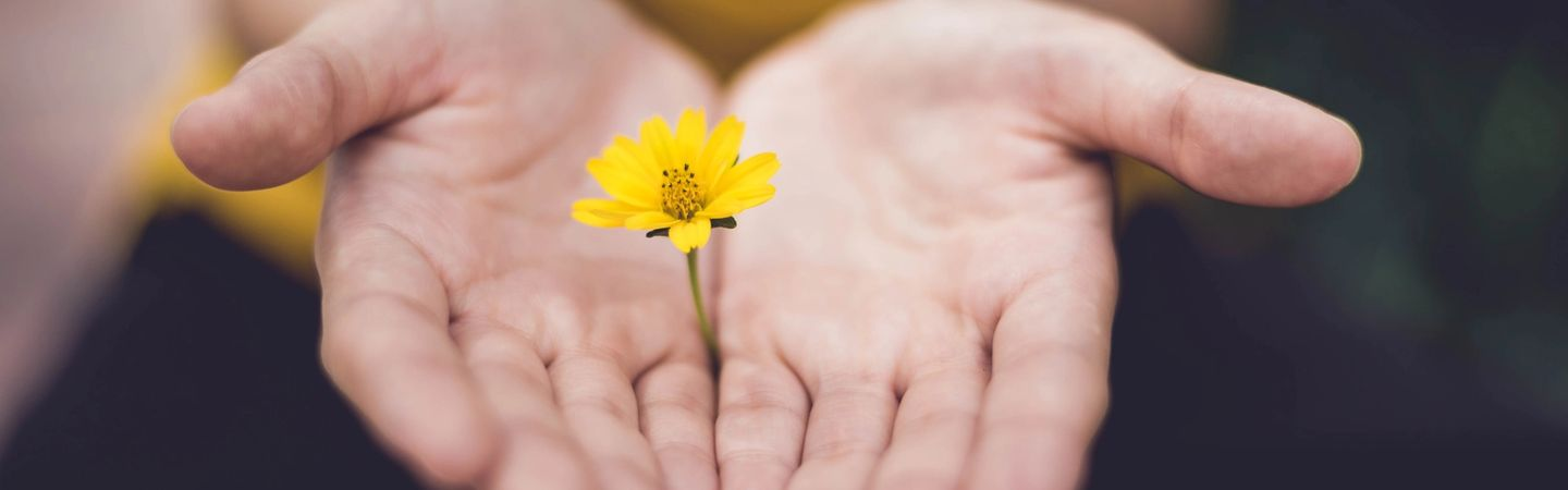 hands with palms open, facing upwards offer a yellow daisy towards the camera